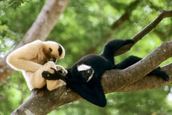 White Cheek Gibbons grooming in Vietnam, photo from National Geographic